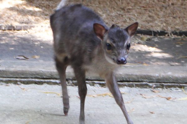Blue Duiker calf is a girl!