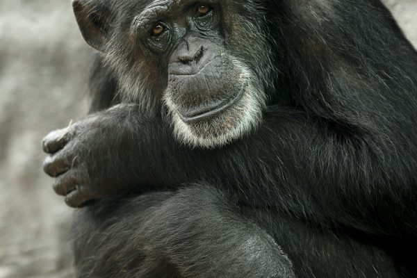 Chimpanzee Billy-Joe