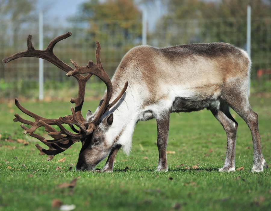 Our reindeer friends are back at Colchester Zoo!