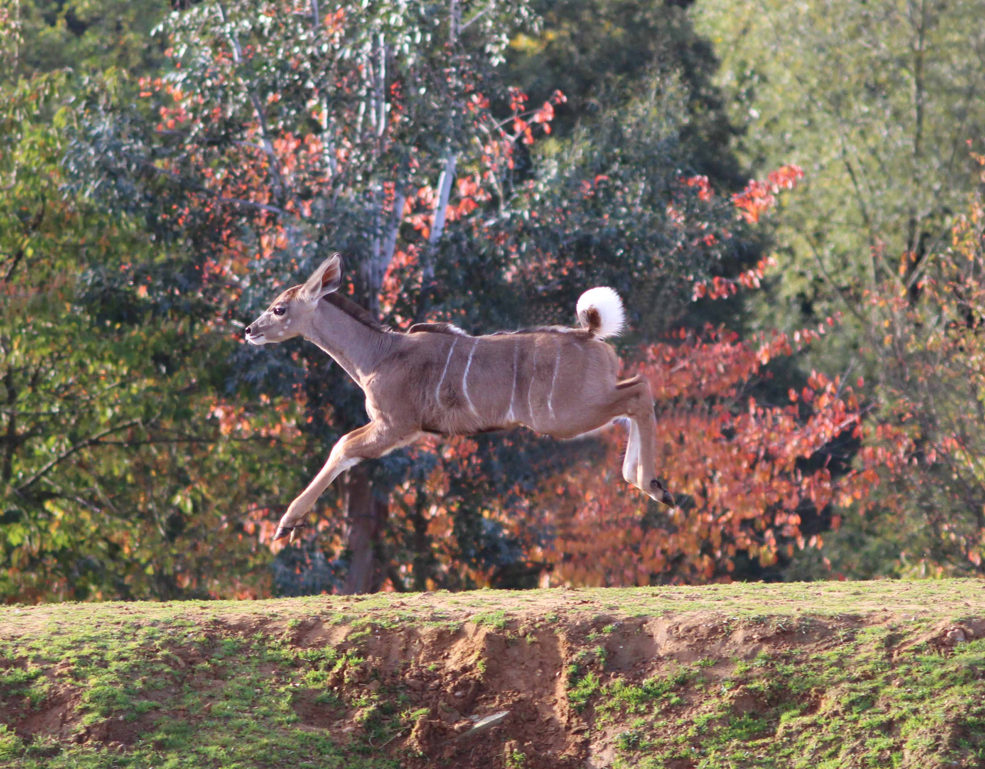 Our kudu calf has a spring in his step!