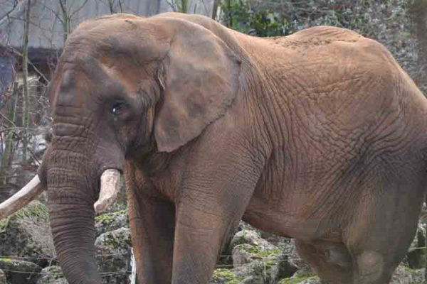 Ground-breaking Dental Procedure for African Elephant, Tembo