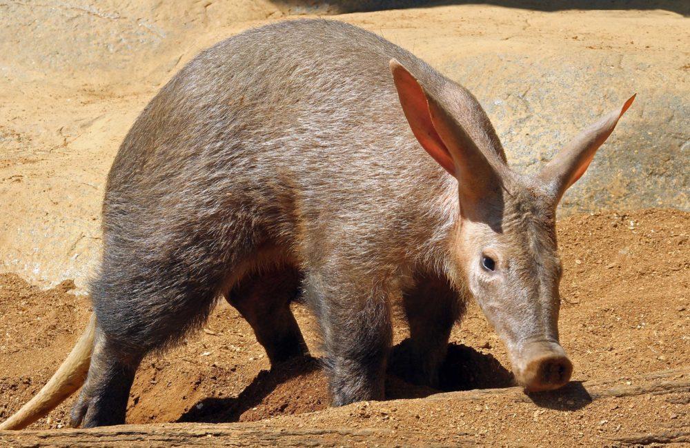 Aardvark outside digging in sand