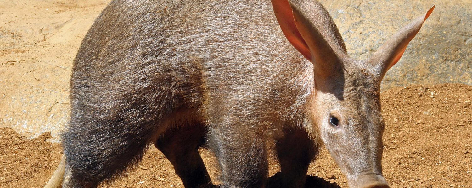 Meet the aardvarks
