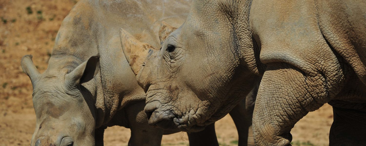 Meet the White Rhino