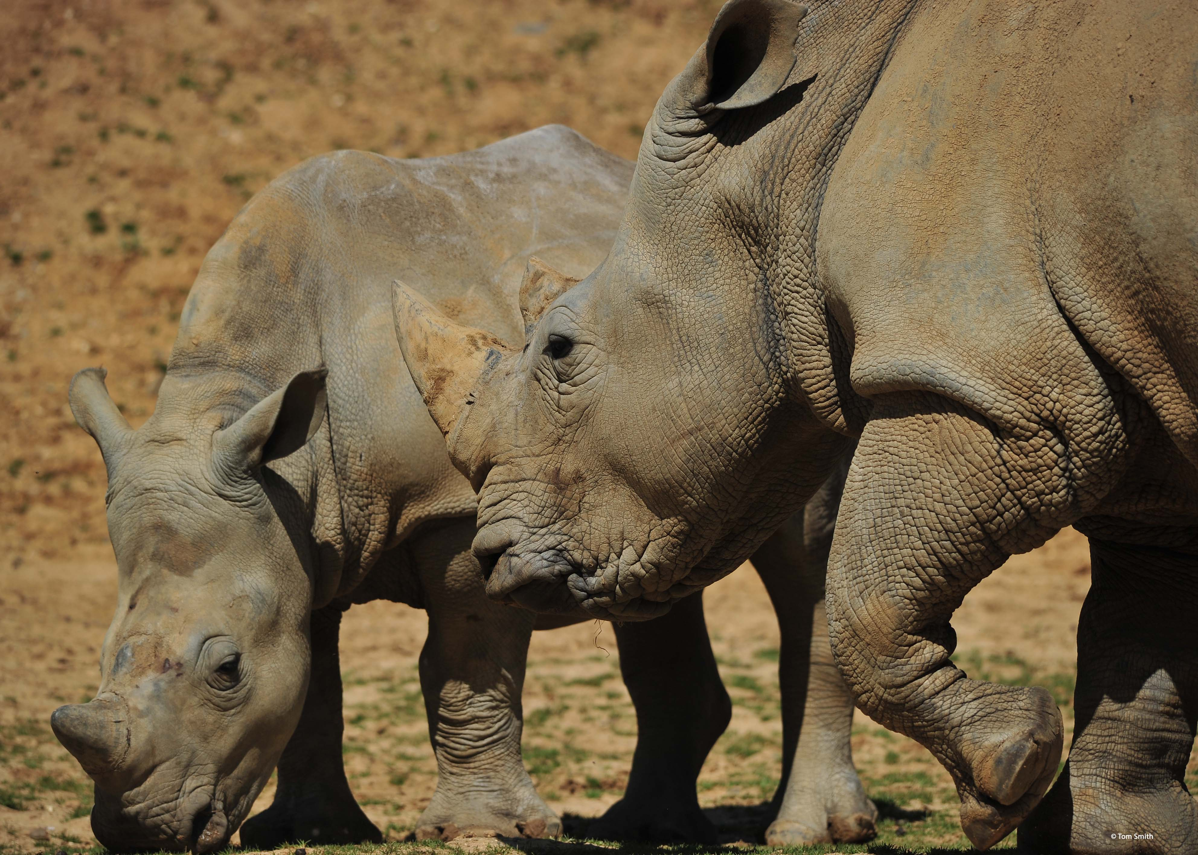 Meet the White Rhino | Colchester Zoo