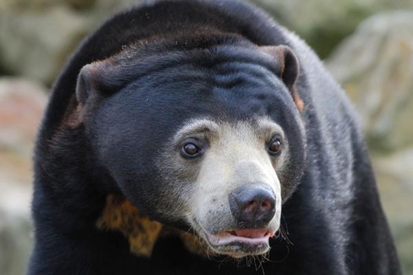 Close up of sun bear