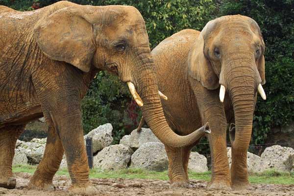 Two elephants outside