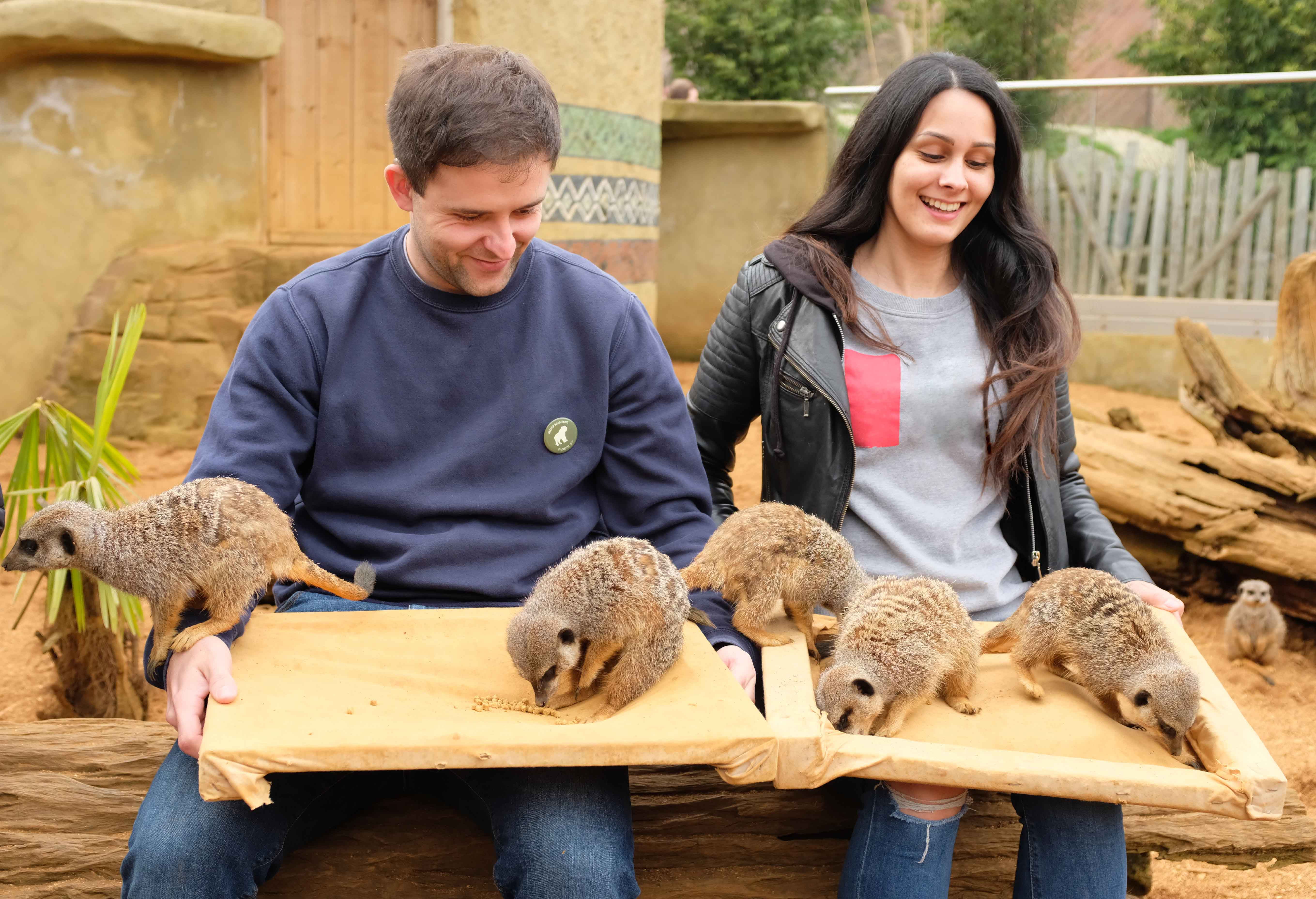 Meerkat Experience | Colchester Zoo