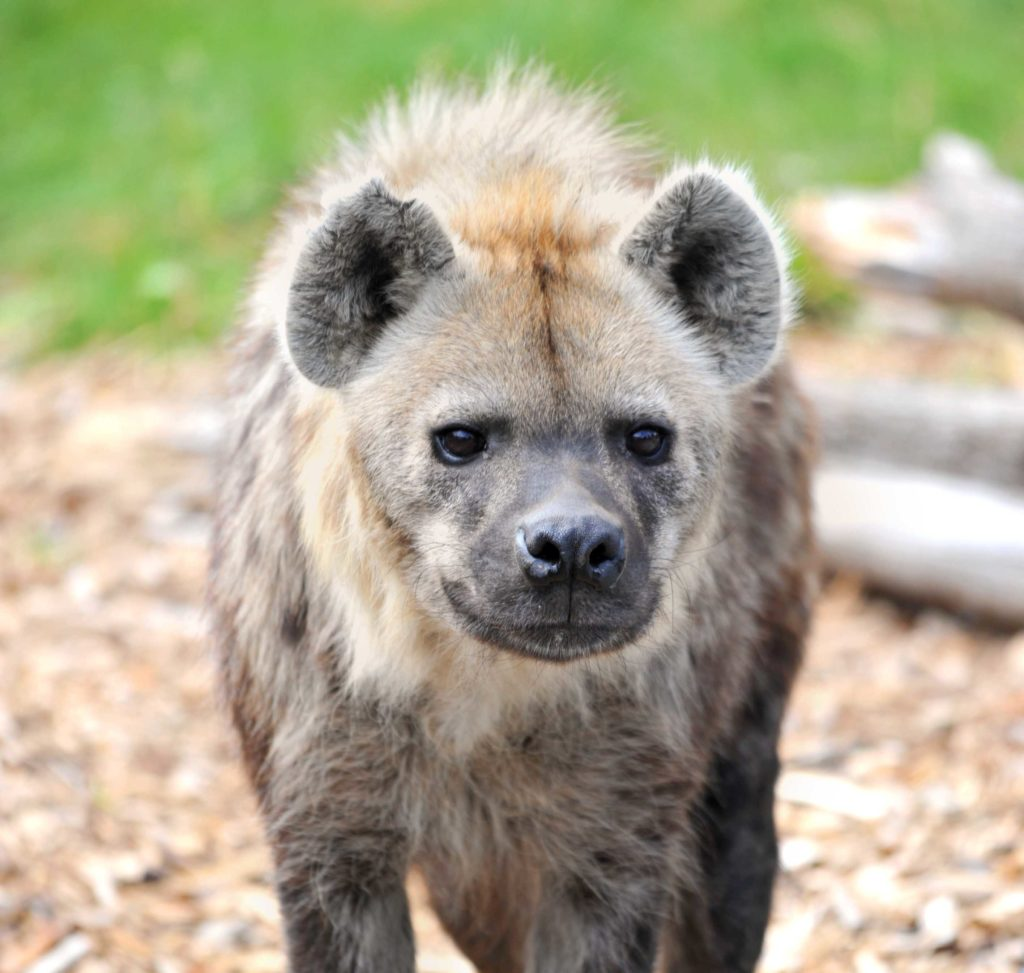 Close up of brown spotted hyena