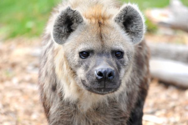 Meet the Spotted hyenas