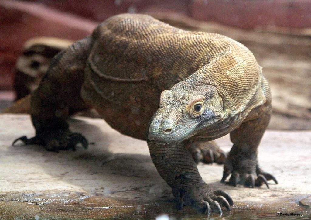 Close up of Komodo dragon