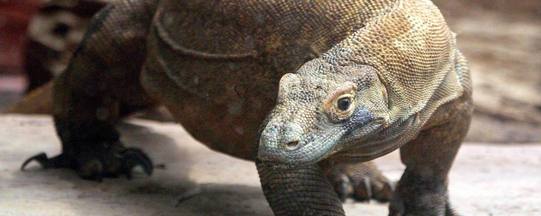 Meet the Komodo Dragon