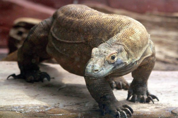 Meet the Komodo Dragon