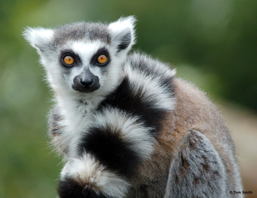Lemur with black and white striped tail