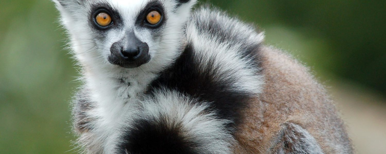 Meet the Lemurs
