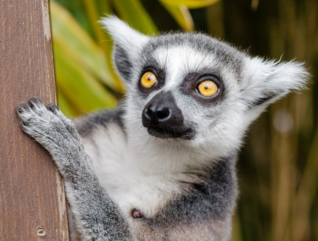 Close up of ring-tailed lemur
