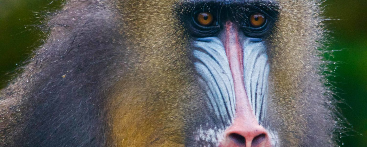 Meet the Mandrill Monkeys