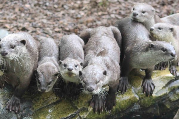 Smooth-coated otters (Lutrogale perspicillata)