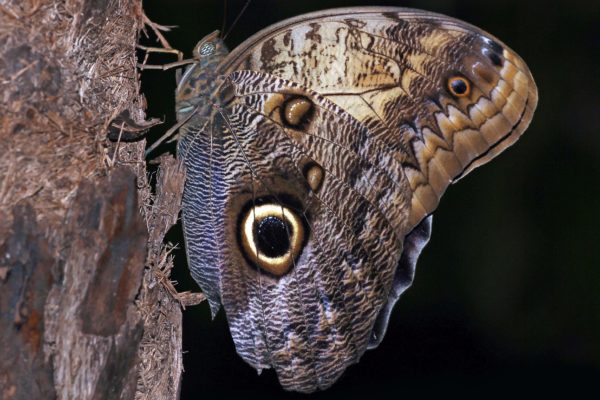 Owl Butterfly (Caligo Memnom)