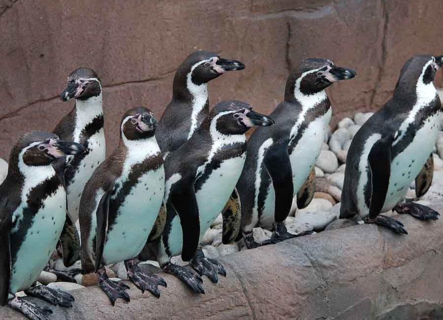 Group of penguins on the edge of pool