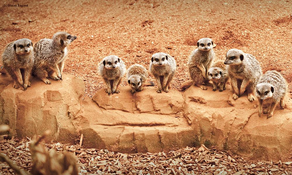 Mob of meerkats lined up along a rock