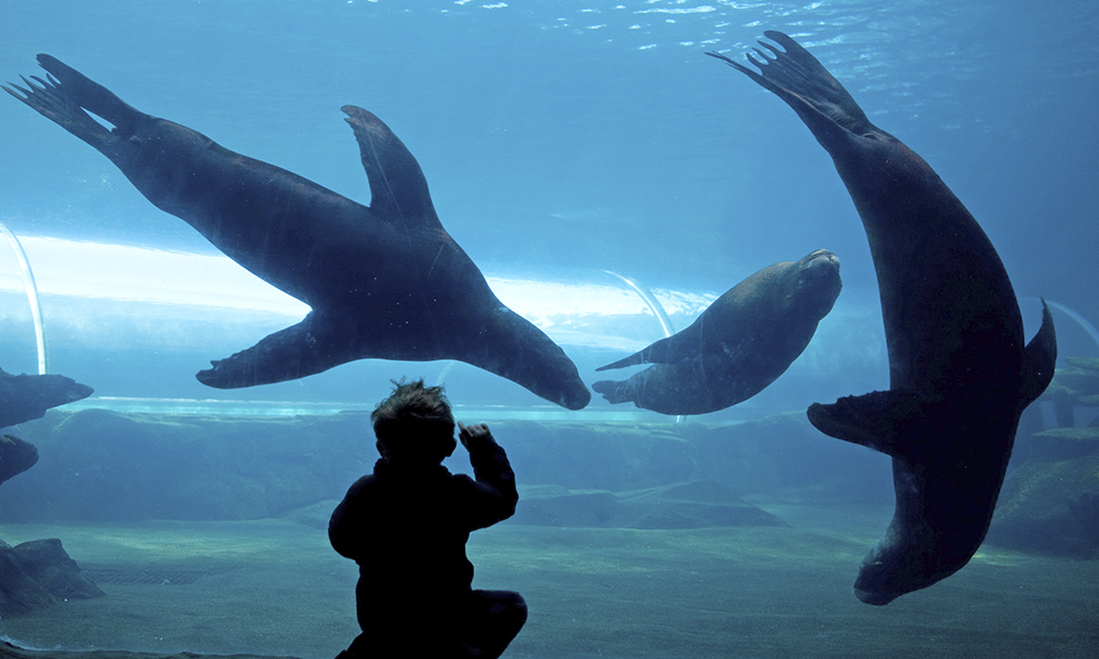 Three sealions swimming with child watching from viewing window.