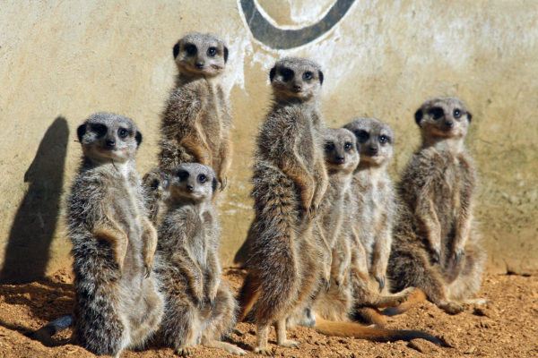 Group of meerkat all standing and looking at the camera