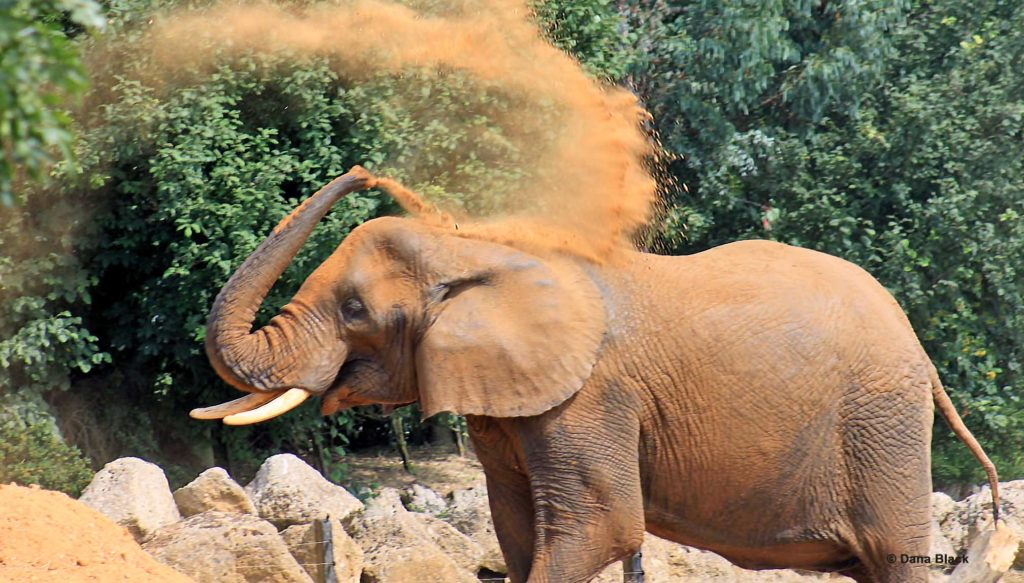 Elephant throwing dust on its back