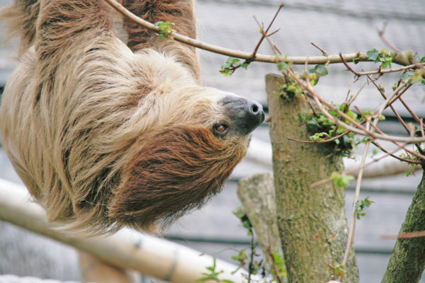 Linne's two toed sloth (choloepus didactylus)