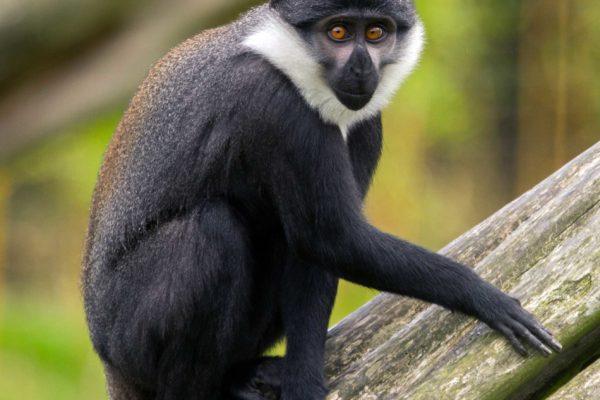 L'hoest Monkey (Cercopithecus lhoesti)