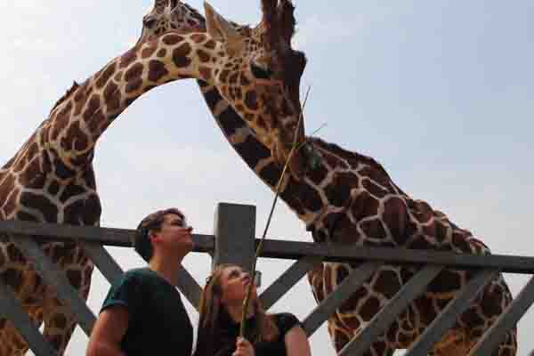 Man and woman feeding giraffes