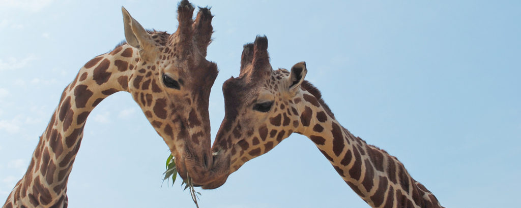 Two Giraffes next to each other