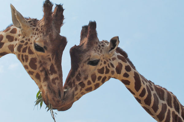 Meet the Giraffes