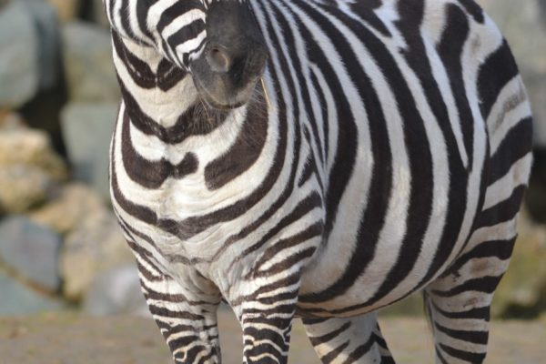 Maneless Zebra (Equus burchelli bohmi)