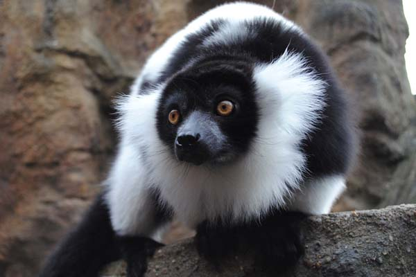 Black and White Ruffed Lemur ( Varecia verigata variegata)