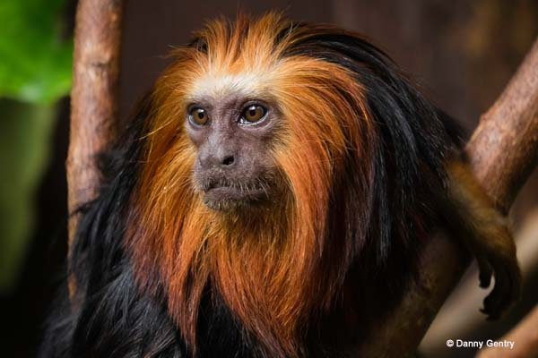 Golden-Headed Lion Tamarin ( Leontopithecus chrysolmlas)
