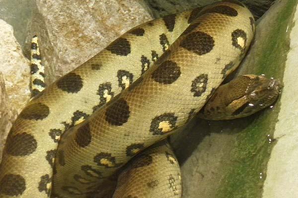 Green Anaconda ( Eunectes murinus)