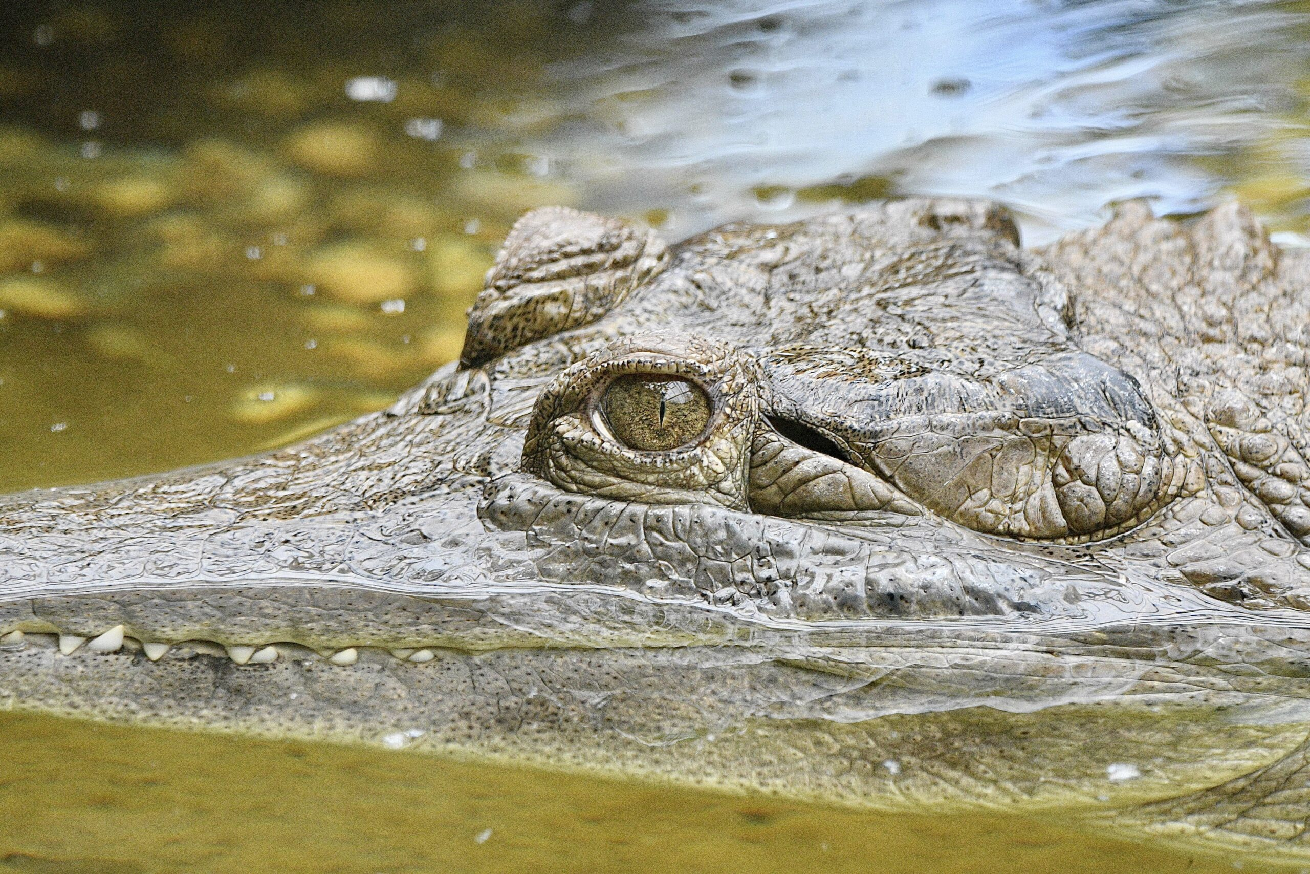 Slender-snouted Crocodile (Mecistops cataphractus)