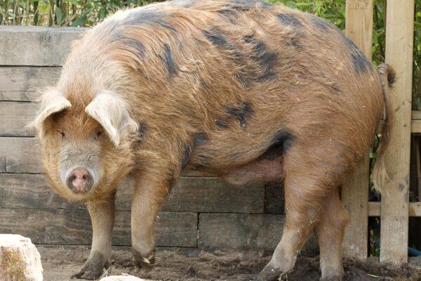 Oxford Sandy & Black Pig (Sus scrofa domesticus)