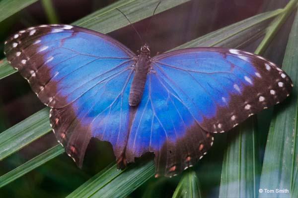 Morpho Butterfly (Morpho peleides)