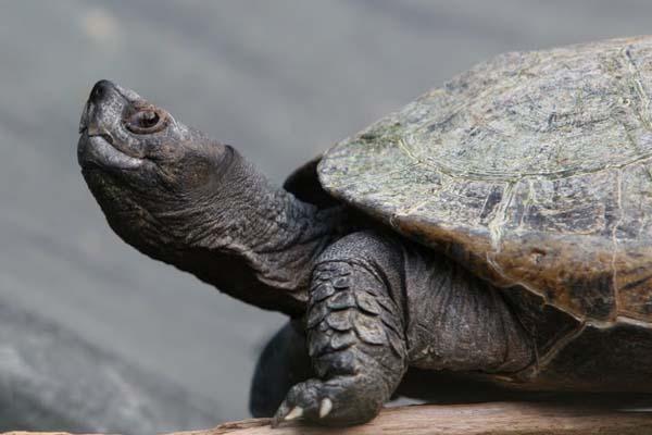 Giant Asian Pond Turtle (Heosemys grandis)