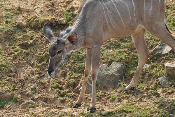 Meet our new kudu!