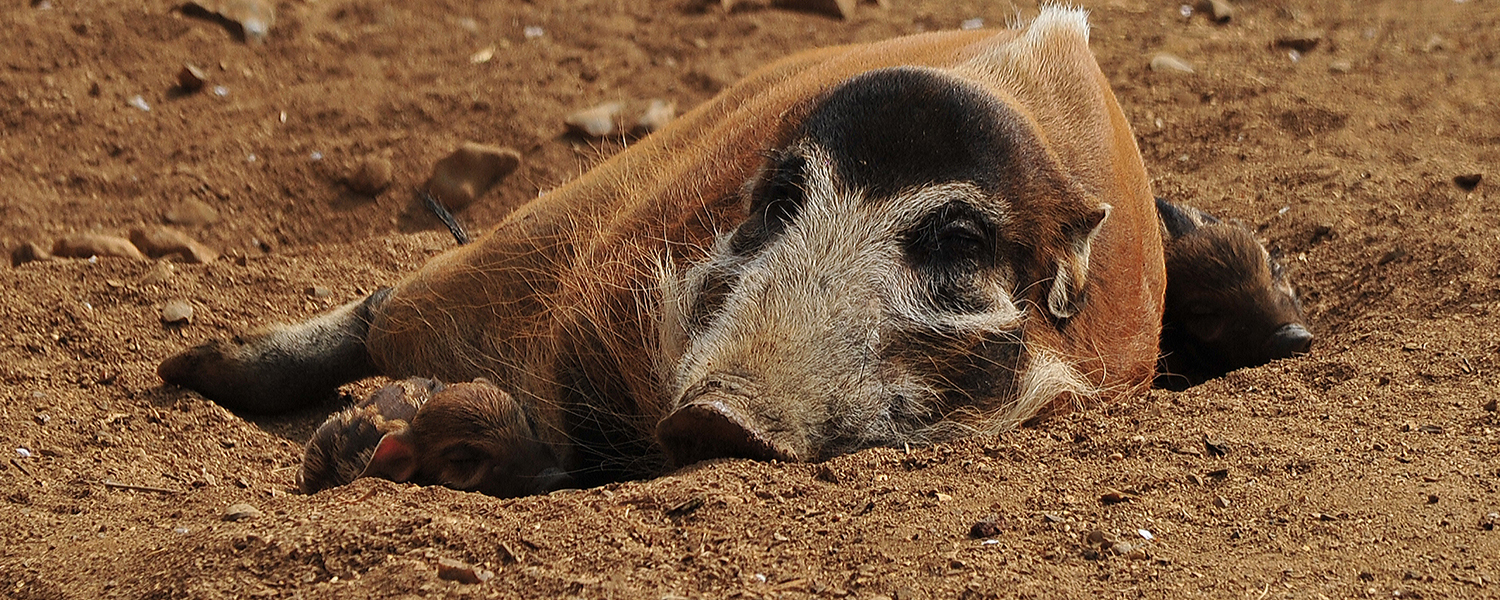 Red river hog piglets named!
