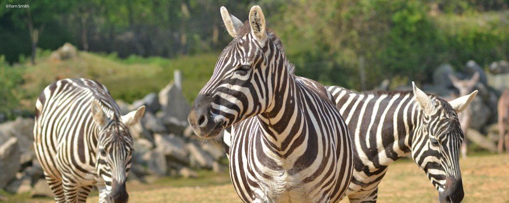 Three Zebra starting together