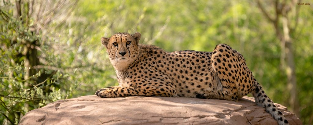Cheetah lying on top of a rock looking into the camera