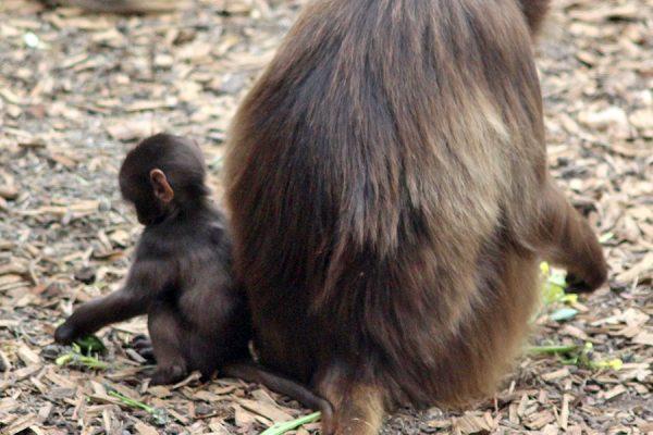 Baboon babies born!