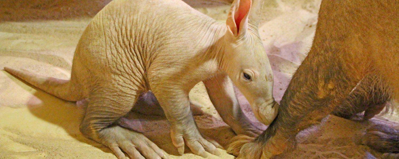 Aardvark welcomes a girl!