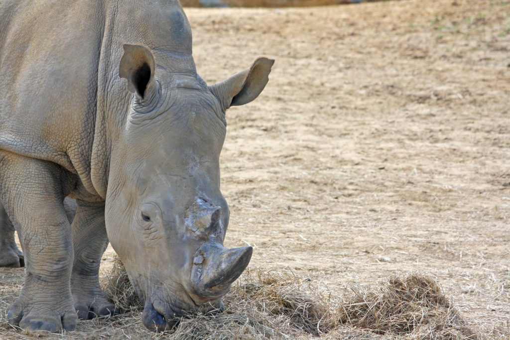 Close up of rhino in paddock eating hay