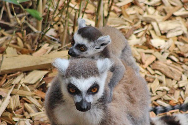 Our lemur group has grown again!