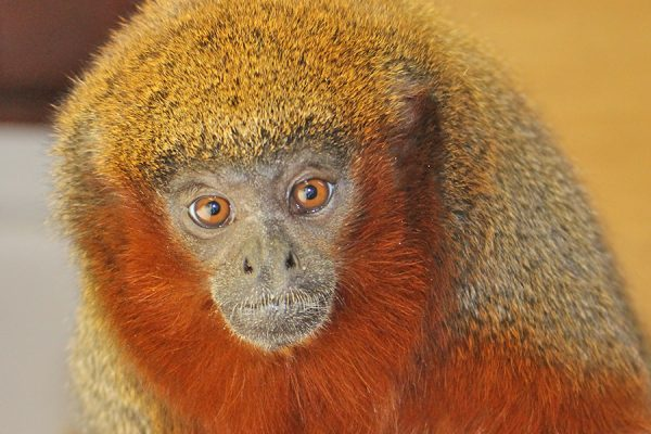 Breeding success for our Titi monkeys!